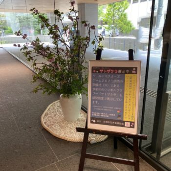 京の花「サトザクラ」を展示しました!イメージ