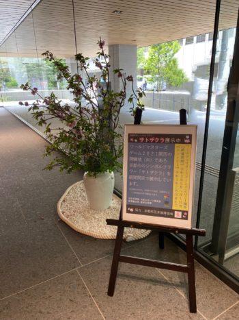京の花「サトザクラ」を展示しました!