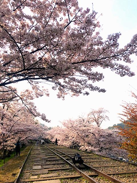 桜が見頃です!