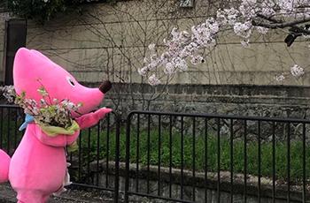 桜が見頃です!イメージ